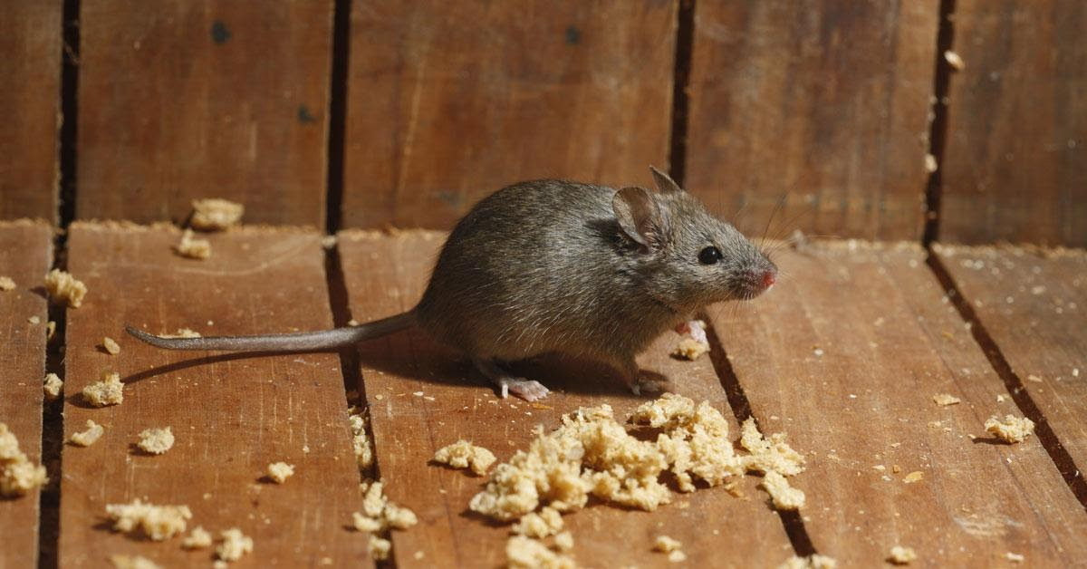 All about House Mice and House Mice Control in Vancouver