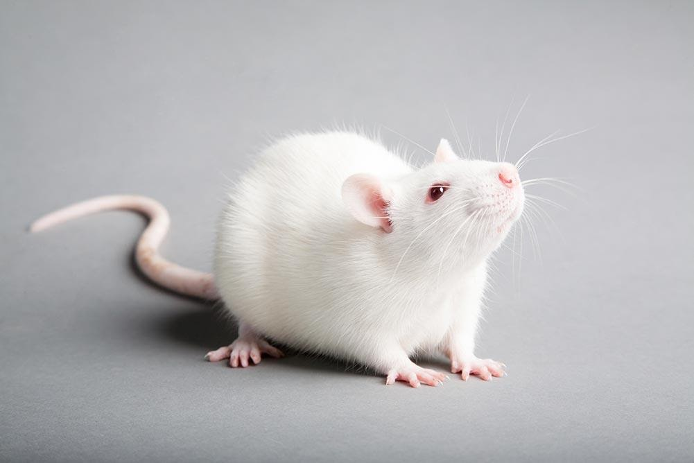 Brass Tacks about Mice Control in Toronto - Amir Articles