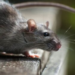 Ways to Identify Rat Infestation