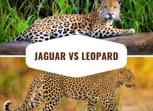 The Difference Between Jaguar and Leopard - Honest Comparisons