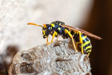 How to Get Rid of Wasps: A Guide for Homeowners