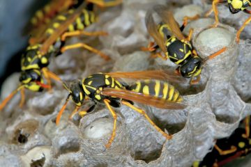4 Most Common Wasp Allergy Symptoms