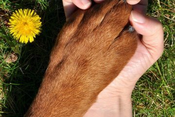 Lyme Disease in Dogs – How to Keep Your Dog Safe From the Deadly Paste