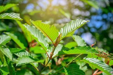Working Out With Kratom as a Fitness Essential